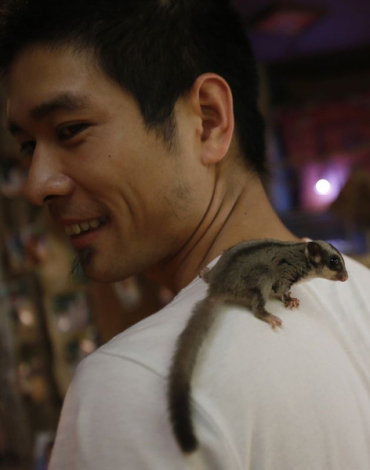 An Australia sugar glider is seen on shoulder of Nghia at the Pet Cafe in Hanoi
