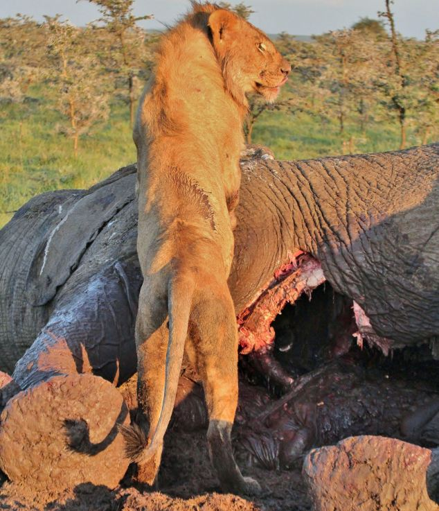 Hyena Hides From Hungry Lion In Elephant Carcass