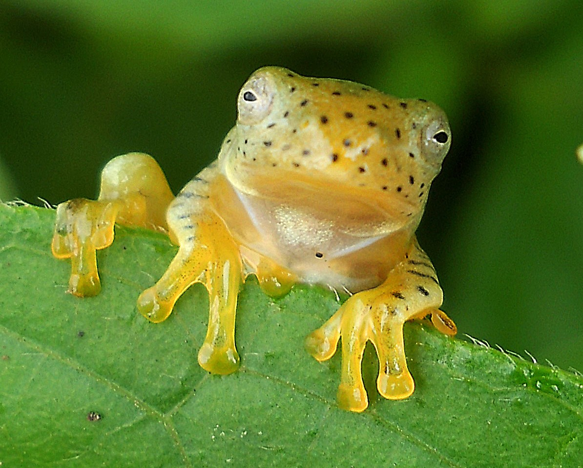 Small Gliding Frog