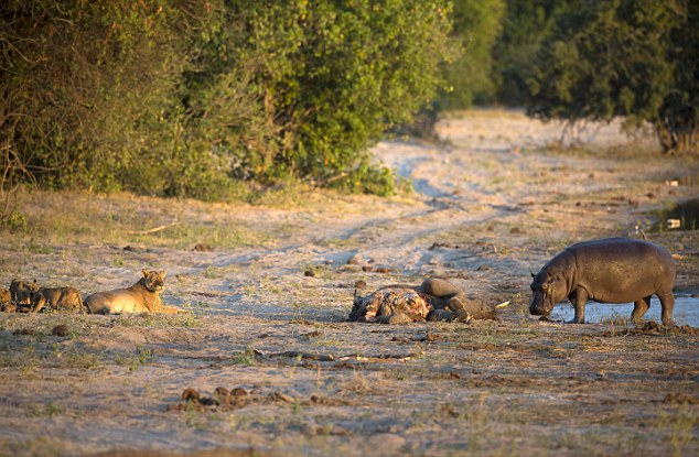 Open Wide: Hippo Scares Off Lioness And Cubs To Secure Elephant Carcass
