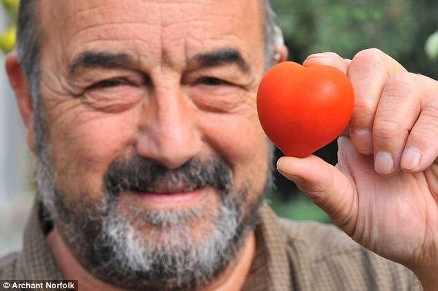 Agricultor colhe tomate em formato de coração