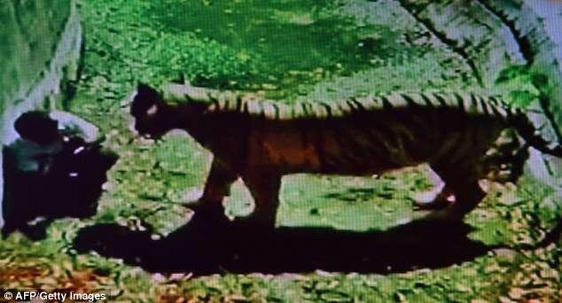 Vídeo chocante mostra homem sendo devorado por tigre branco