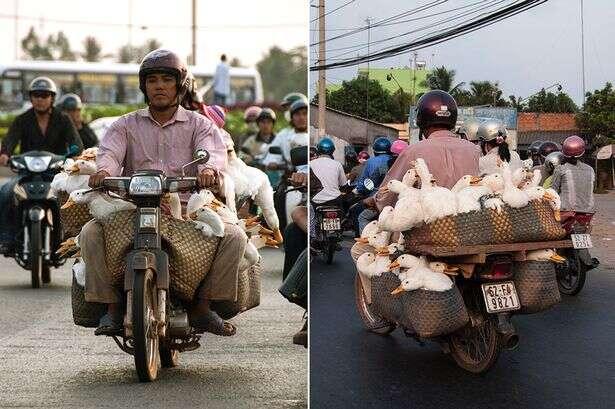 Homem transportando mais de 40 gansos em motocicleta faz sucesso na internet
