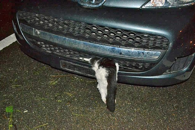 Cat Survives 120kph Crash And Hot Motor That Burnt Off Ears