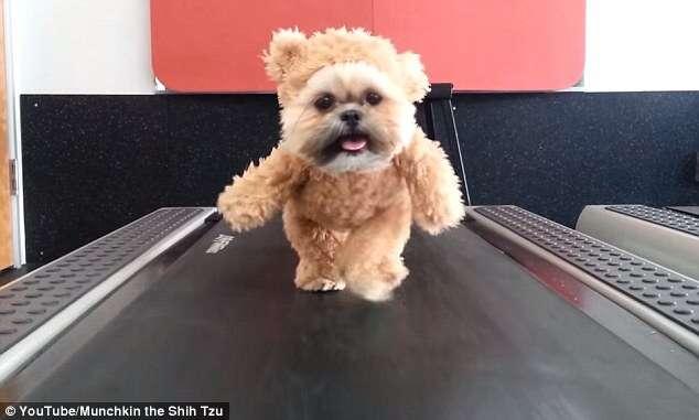 Cãozinho vestido de urso e caminhando em esteira vem fazendo sucesso na web