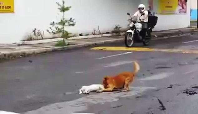 Vídeo emocionante mostra cão tentando reanimar companheiro após morrer