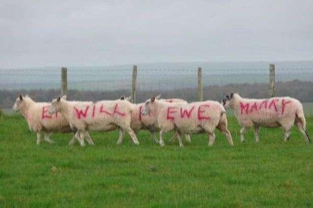Fazendeiro usa suas ovelhas para fazer pedido de casamento