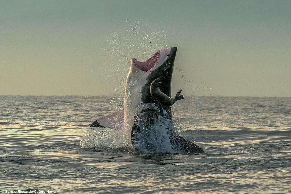 Imagens impressionantes mostram foca escapando de ataque de tubarão