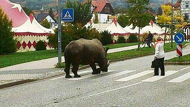 Circo causa polêmica ao levar rinoceronte para passear em cidade