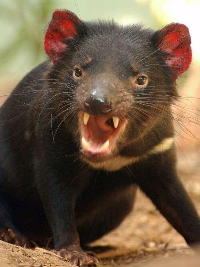 Matemática e diabo da tasmânia indicam como ocorrerá o apocalipse zumbi, diz cientistas