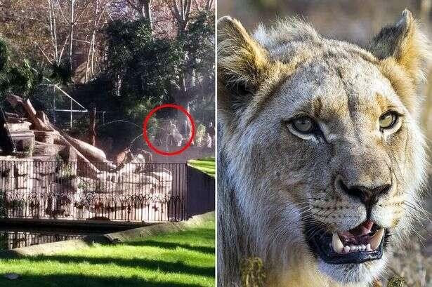 Homem é atacado ao invadir fosso de leões em zoológico
