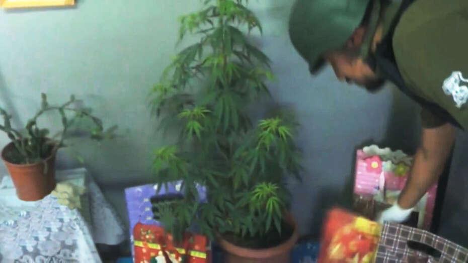 Mulher usa planta gigante de maconha como árvore de Natal e é presa