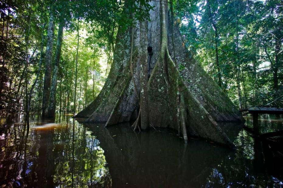Madeireiros acidentalmente cortam árvore mais antiga do mundo