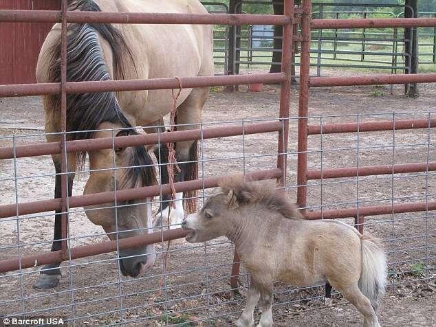 Cavalo com nanismo se torna celebridade no Facebook