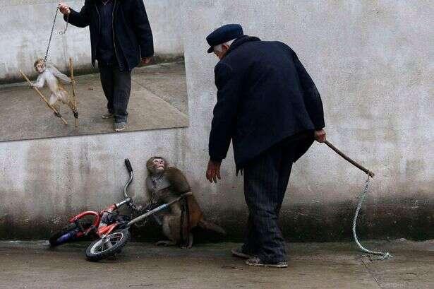 Imagens chocantes mostram momento em que macaco se encolhe de medo de treinador
