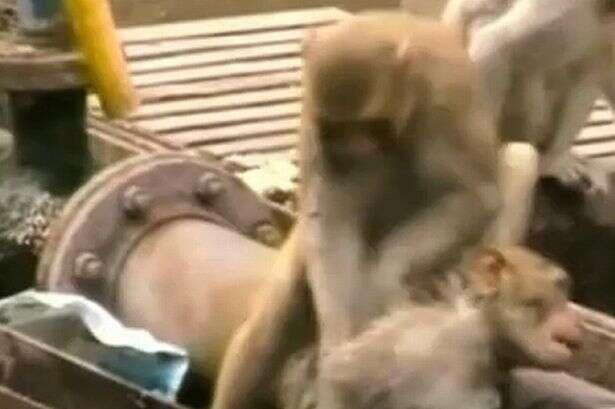 Macaco desesperado se torna herói e salva amigo eletrocutado