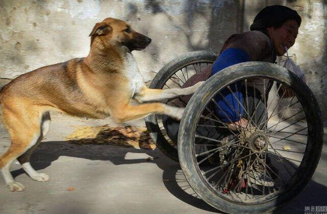 Cão empurra seu dono em cadeira de rodas