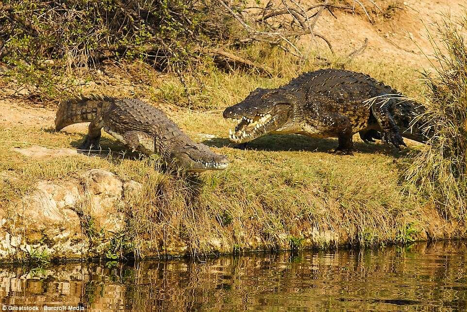 Veja o momento incrível em que crocodilo enorme tenta devorar rival menor
