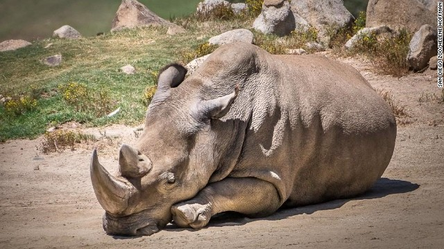 Morre um dos seis últimos rinocerontes brancos do mundo