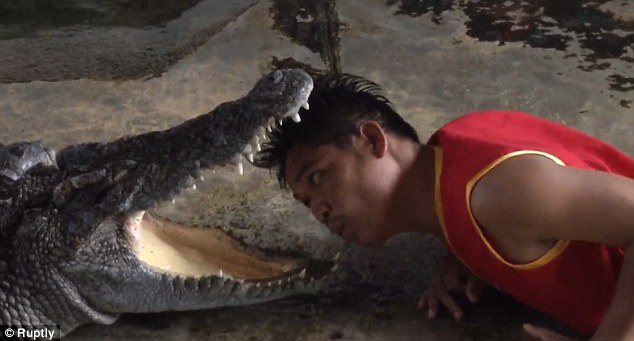 Artistas de zoológico arriscam suas vidas colocando a cabeça dentro da boca de crocodilos enormes