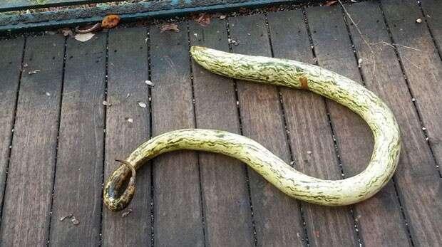 Abóbora no formato de cobra