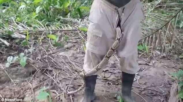 Vídeo de arrepiar mostra enorme jiboia saindo das calças de homem