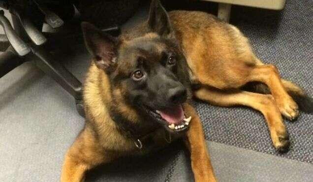 Cão policial é demitido por justa causa