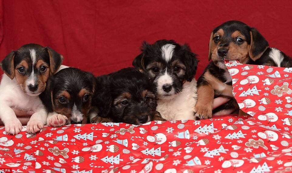 Imagens de cãezinhos fofos rasgando embrulhos de presentes de Natal