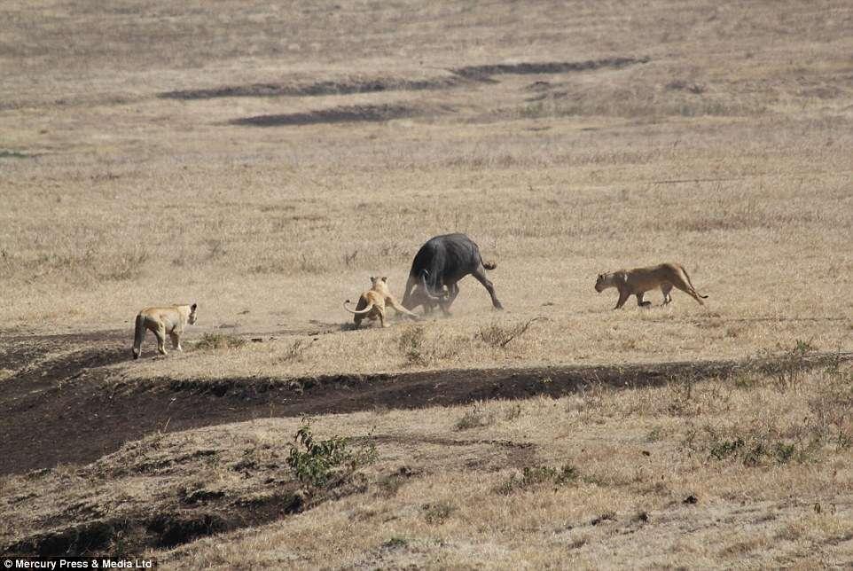 Búfalo encara leões