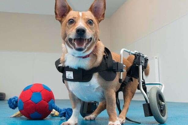 Cão paralisado, procura novo lar para passar o Natal