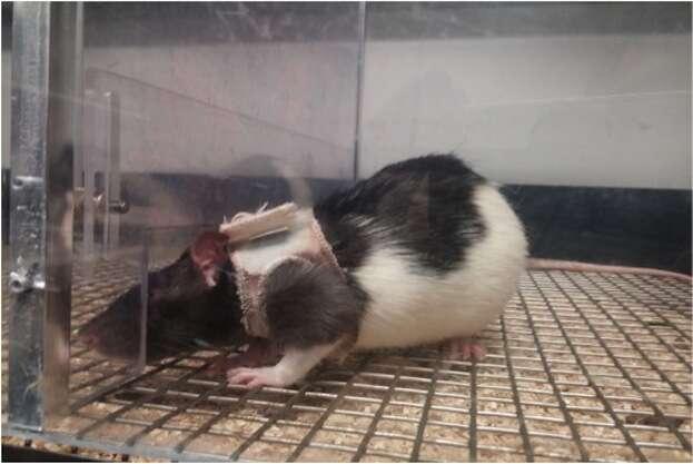 Pesquisa revela que ratos machos se sentem mais atraídos por fêmeas de lingerie