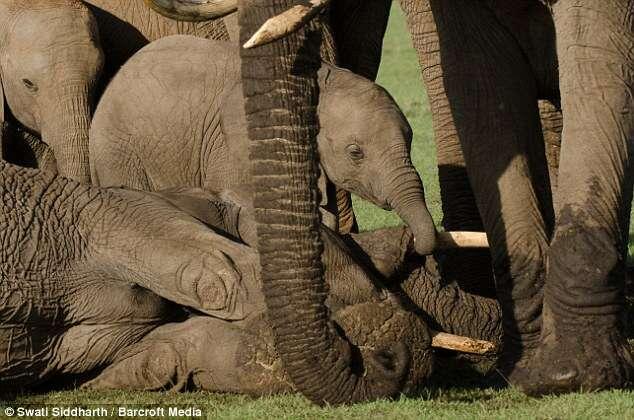 Imagem comovente mostra bebê elefante chorando a morte da mãe