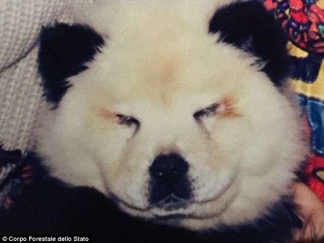 Cães são apreendidos após circo pintá-los para se parecem com pandas