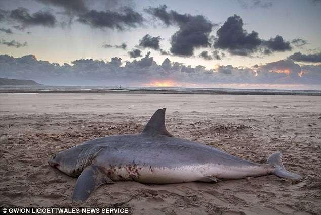 Tubarão mortal é encontrado morto em praia no País de Gales