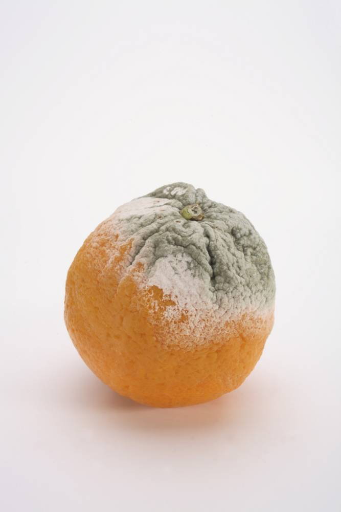 Orange with mould, close-up