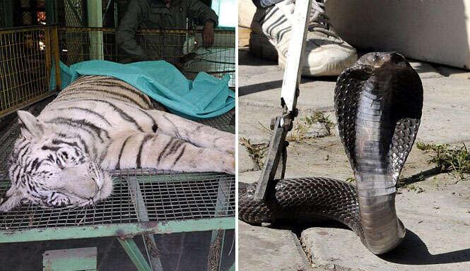 Tigre branco morre picado por cobra venenosa