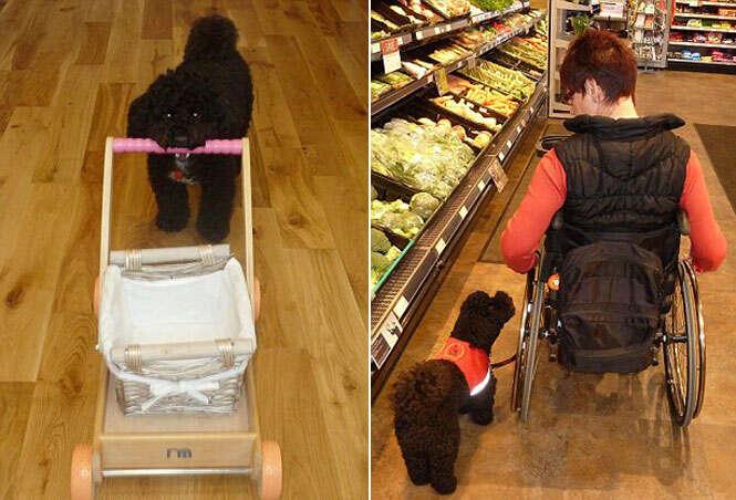 Cão de estimação realiza várias tarefas domésticas para ajudar dona em cadeira de rodas