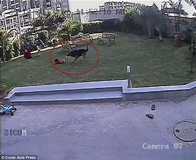 Câmeras de segurança flagram menino salvando irmã bebê de ser atacada por cão agressivo