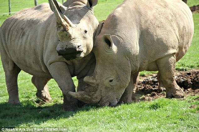 Funcionários de zoológico dão Viagra para rinocerontes conseguirem se acasalar