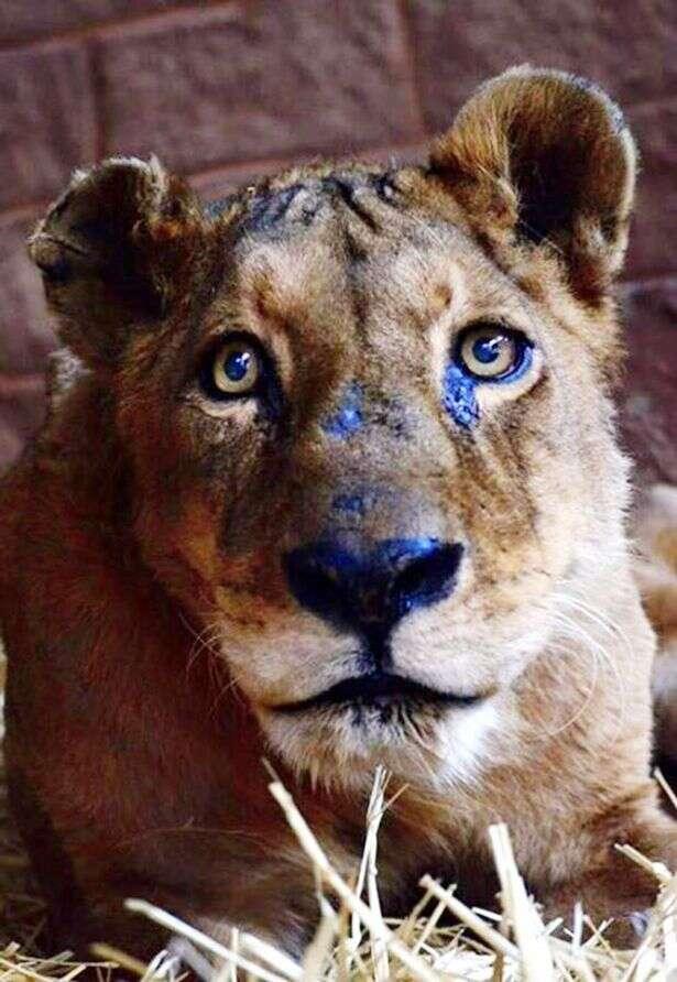 Leoa morre após dono arrancar dentes e unhas do animal