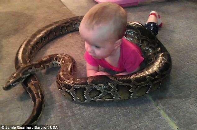 Pai posta vídeo de filha bebê brincando com enorme cobra píton e causa polêmica na web