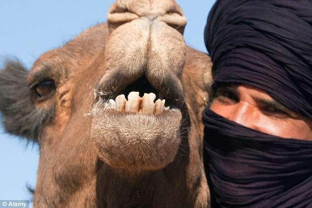 Homem é mordido na cabeça por camelo e acaba morrendo