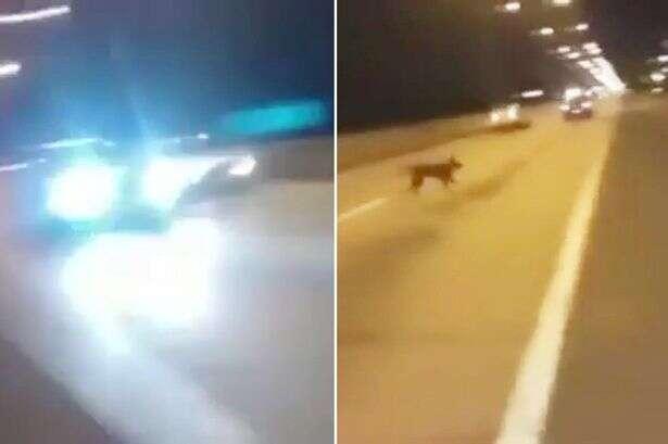 Vídeo mostra cão se tele transportando até rodovia movimentada
