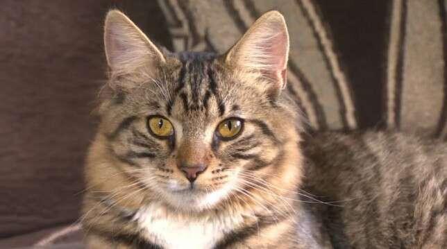 Gato hermafrodita espera por cirurgia de mudança de sexo