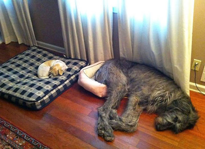 Cães que cresceram além do esperado