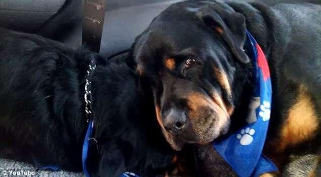 """Vídeo comovente mostra cão """"chorando"""" ao encontrar seu irmão morto"""