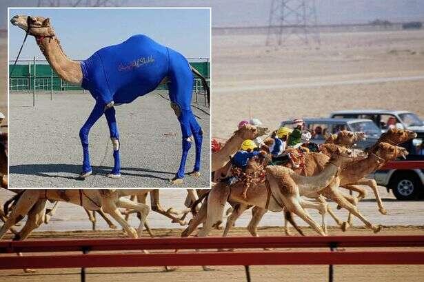 Camelos usam trajes criados para corridas