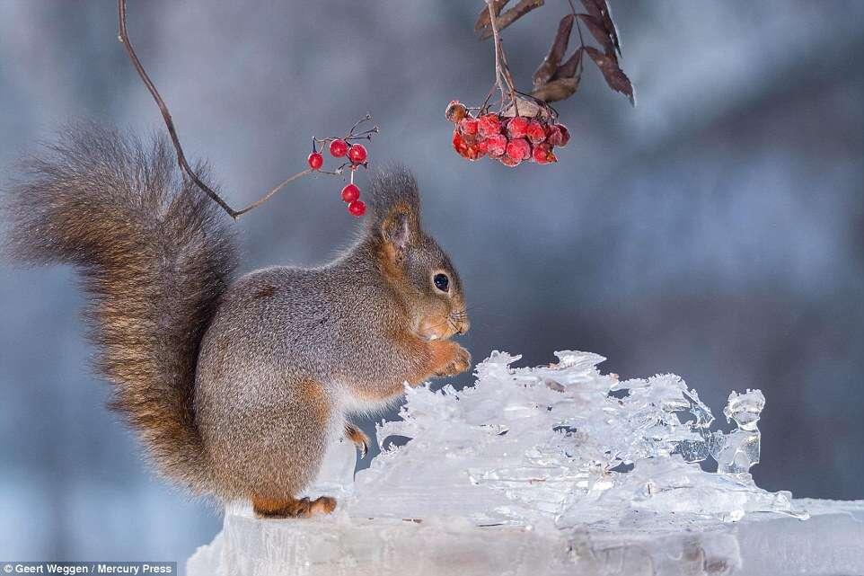 Esquilos em jardins congelados na Europa