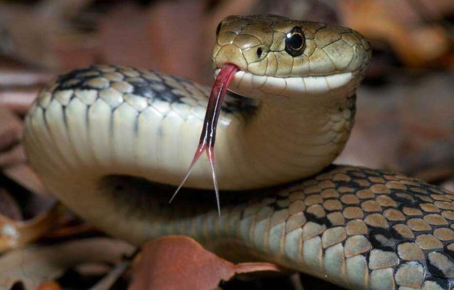 Cura universal para venenos de cobras é desvendada por cientistas