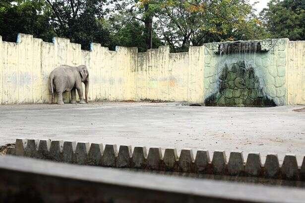 Elefanta é mantida vivendo sozinha em jaula de concreto desde 1977
